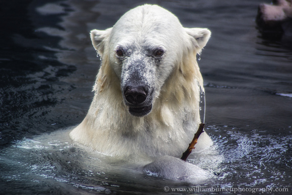 Polar Bear shot through glass.